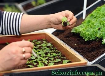 Пикирование рассады овощей