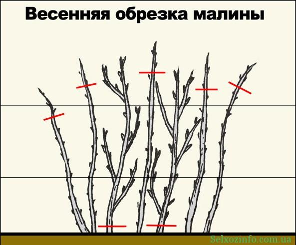 Обрезка кустов малины весной