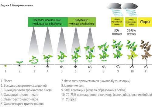 Стадии развития соевых бобов